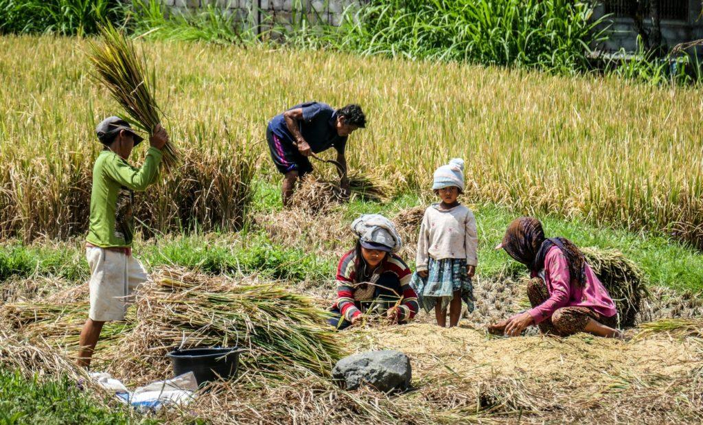 La riziculture à Bali
